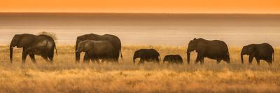 Etosha NP, Namibia, Africa. Elephants Walk in a Line at Sunset