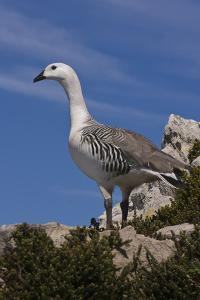 Falkland Islands, Upland Goose by Janet Muir