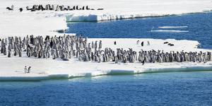 Ice Shelf, Antarctica. Emperor Penguin chicks at the edge of an ice shelf. by Janet Muir