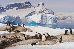 Lemaire Channel, Antarctica. Gentoo Penguin Colony with Icebergs by Janet Muir