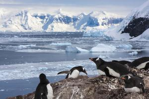 Lemaire Channel, Antarctica. Gentoo Penguin Colony by Janet Muir