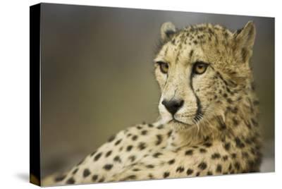 Livingstone, Zambia, Africa. Cheetah