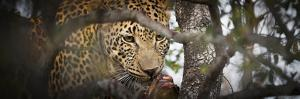 Londolozi Game Reserve, South Africa. Leopard Eating in a Tree by Janet Muir