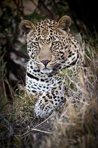 Londolozi Reserve, South Africa. Close-up of Leopard Resting in a Tree by Janet Muir