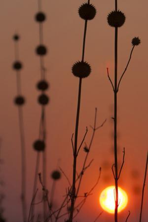Okavango Delta, Botswana. Africa. Thistles at Sunset