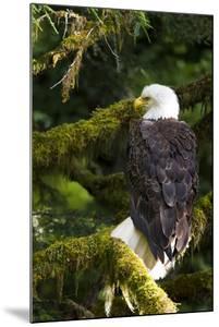 Raptor Center, Sitka, Alaska. Close-up of a Bald Eagle Sitting in Tree by Janet Muir