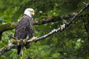 Raptor Center, Sitka, Alaska. Close-up of a bald eagle. by Janet Muir