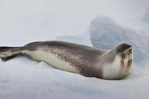Ross Sea, Antarctica. Rare Ross Seal by Janet Muir