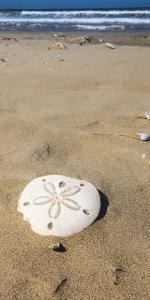 Sand Dollar Beach, Magdalena Island, Baja, Mexico. Single sand dollar on the beach. by Janet Muir