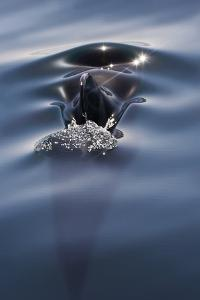 Sea of Cortez, Baja, Mexico. a Short-Finned Pilot Whale Surfaces by Janet Muir