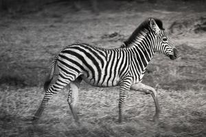 Shinde Camp, Okavango Delta, Botswana, Africa. Young Plains Zebra by Janet Muir