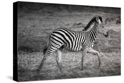 Shinde Camp, Okavango Delta, Botswana, Africa. Young Plains Zebra