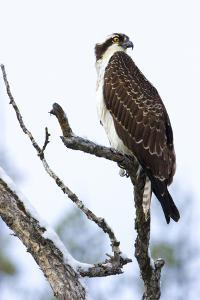 Shoshone National Forest, Wyoming. Osprey Sits on a Branch by Janet Muir