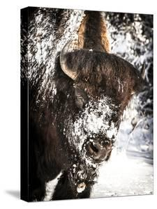Shoshone National Forest, Wyoming, Usa. Bison with Snow on Face by Janet Muir
