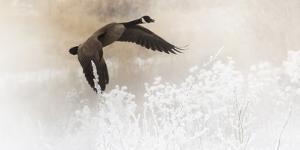 Wapiti Valley, Wyoming USA. A Canadian goose takes flight over frost covered bushes. by Janet Muir