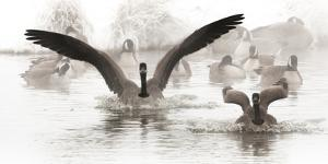 Wapiti Valley, Wyoming. USA. Canadian Geese land in a winter's pond. by Janet Muir