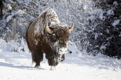 Wapiti, Wyoming. Usa. Bison Walking in the Snow