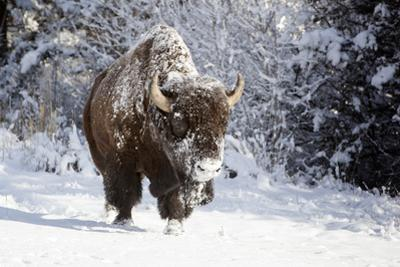Wapiti, Wyoming. Usa. Bison Walking in the Snow by Janet Muir