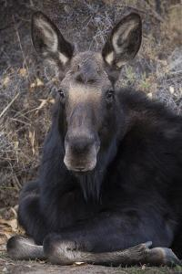 Wapiti, Wyoming. Usa Female Moose Resting by Janet Muir