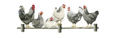 Hens, White Background by Janet Pidoux