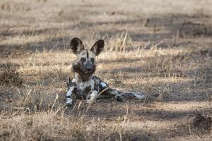 African Wild Dog (Painted Dog) (African Hunting Dog) (Lycaon Pictus), Zambia, Africa by Janette Hill