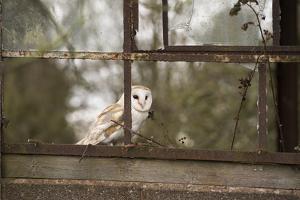 Barn Owl (Tyto Alba), Herefordshire, England, United Kingdom by Janette Hill