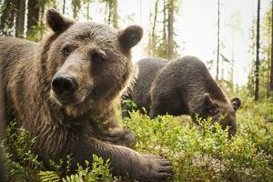 Brown Bear (Ursus Arctos), Finland, Scandinavia, Europe by Janette Hill