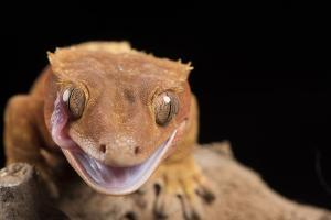 Crested Gecko (Correlophus Ciliates), captive, New Caledonia, Pacific by Janette Hill