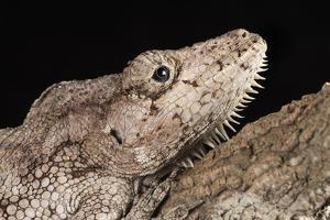 Cuban False Chameleon (Chamaeleolis), captive, Cuba, West Indies, Central America by Janette Hill