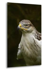 Ferruginous Hawk, United Kingdom, Europe by Janette Hill