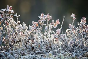 Frost, Sweden, Scandinavia, Europe by Janette Hill