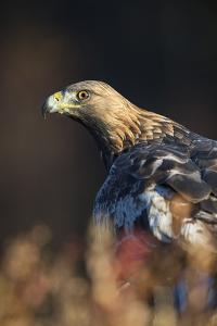 Golden eagle (Aquila chrysaetos), Sweden, Scandinavia, Europe by Janette Hill