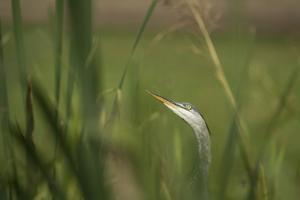 Grey heron (Ardea cinerea), United Kingdom, Europe by Janette Hill