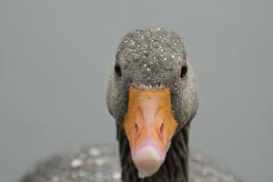 Greylag goose (Anser anser), United Kingdom, Europe by Janette Hill