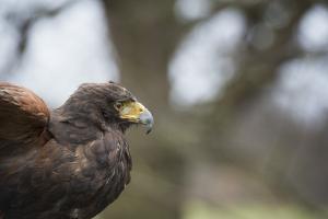 Harris Hawk (Parabuteo Unicinctus), Raptor, Herefordshire, England, United Kingdom by Janette Hill