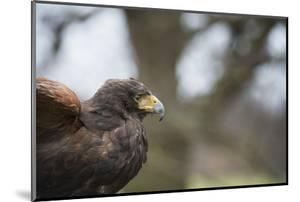 Harris Hawk (Parabuteo Unicinctus), Raptor, Herefordshire, England, United Kingdom by Janette Hill