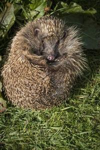 Hedgehog (Erinaceinae), Devon, England, United Kingdom by Janette Hill