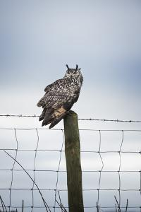 Indian Eagle Owl (Bubo Bengalensis), Herefordshire, England, United Kingdom by Janette Hill