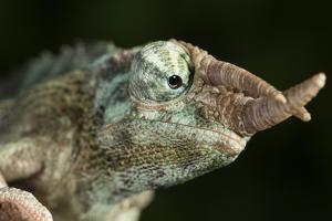 Jacksons Chameleon (Rhinoceros Chameleon) (Trioceros jacksonii), captive, Madagascar, Africa by Janette Hill