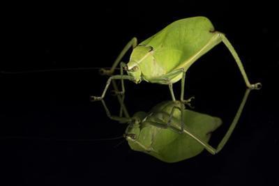 Katydid (Tettigoniidae), captive, Costa Rica, Central America by Janette Hill