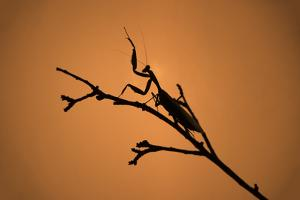 King Mantis (Hierodula Majuscula), captive, Australia, Pacific by Janette Hill