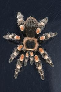 Mexican Red Knee Tarantula (Brachypelma Smithi), captive, Mexico, North America by Janette Hill
