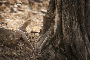 Monitor Lizard, Ranthambhore National Park, Rajasthan, India, Asia by Janette Hill