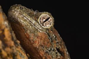 Mossy gecko (Rhacodactylus Chahoua), captive, United Kingdom, Europe by Janette Hill