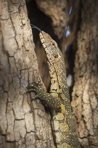 Nile Monitor (Varanus Niloticus), Zambia, Africa by Janette Hill