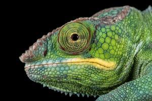 Panther Chameleon (Furcifer Pardalis), captive, Madagascar, Africa by Janette Hill