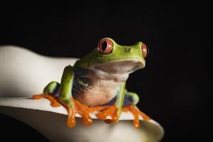 Red eyed tree frog (Agalychnis Callidryas), captive, United Kingdom, Europe by Janette Hill