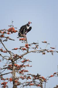 Red-Headed Vulture (Asian King Vulture) (Indian Black Vulture) (Sarcogyps Calvus) by Janette Hill
