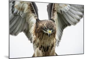 Red-Tailed Hawk (Buteo Jamaicensis), Bird of Prey, England, United Kingdom by Janette Hill