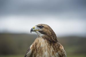 Red-Tailed Hawk (Buteo Jamaicensis), Bird of Prey, Herefordshire, England, United Kingdom by Janette Hill